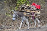 Donkey transporting goods in Nicaragua