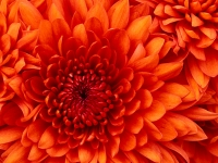 Chrysanthemum.jpg&width=200&height=200